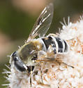 Unknown Fly - Eristalis stipator - female