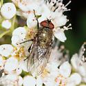 Cluster Fly - Pollenia pediculata - male
