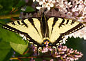 190613 Butterfly - Papilio canadensis