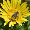 Chap Leg Bee - Megachile perihirta