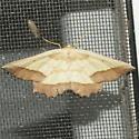 Moth 22 - Euchlaena serrata