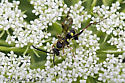 Wasp? with very long legs - Ceropales maculata - male