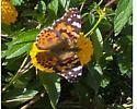 Butterfly, Monarch? - Vanessa cardui
