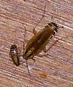 Unknown cockroach and nymph. - Blattella germanica