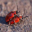 red lily-eating beetles - Lilioceris lilii - male - female