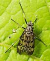 Rhagio mystaceus - Rhagio punctipennis - female
