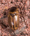 Aphodius pseudolividus? - Aphodius pseudolividus