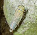 Macrosteles quadrilineatus