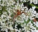 Thomisidae sp.? - Xysticus