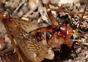 secluded camel cricket - Ceuthophilus seclusus - male