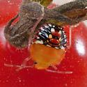 Tomato Invaders Plus 13days - Nezara viridula