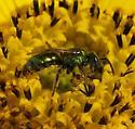 metallic green bee - Augochlorella aurata - male