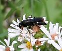 Wasp ID Request - Episyron biguttatus