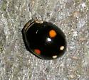 Lady Beetle - Hyperaspis proba - male
