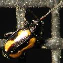 Teeny Tiny Beetle - Phyllotreta striolata
