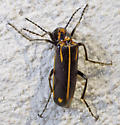beetle - Pyrota insulata