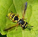 Ceriana tridens - female