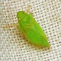Neocoelidia tumidifrons - female