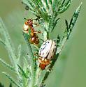 Leaf Beetle - Zygogramma conjuncta