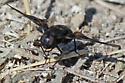Bee Fly - Thyridanthrax atratus