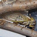 Neotibicen dealbatus Ovipositing  - Megatibicen dealbatus - female