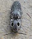 Click Beetle, Possible Alaus Oculatus  - Alaus oculatus