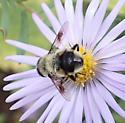 Small bumblebee mimic - Eristalis anthophorina - male
