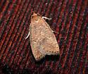 Dotted Leaftier - Psilocorsis reflexella