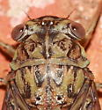 Cicada - Neocicada hieroglyphica - male