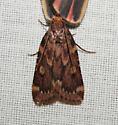 Grease Moth - Aglossa cuprina