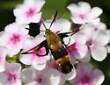 Hummingbird Sphinx Moth - Hemaris diffinis