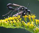 Mating thread-waisted wasps - Eremnophila aureonotata - male - female