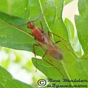 Carpenter Ant - Camponotus castaneus - male