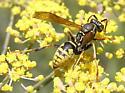 Paper Wasp? - Polistes aurifer - male