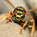 European Paper Wasp Face - Polistes dominula