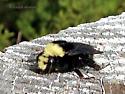 Yellow-faced/Obscure Bumblebee Bombus vosnesenskii/caliginosus - Bombus