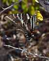 ButterflyZebraSwallowtail_Eurytides_marcellusForWeb_9189 - Eurytides marcellus