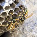 wasps - Polistes dominula