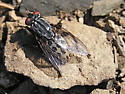 Spotted Fly - Wohlfahrtia vigil