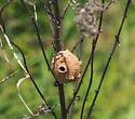 potter wasp pot - Eumenes