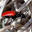Small red and black beetle - Tricrania stansburyi