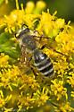 Mining Bee - Andrena hirticincta - male