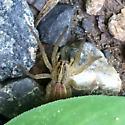 Medium sized spider under a leaf - Tigrosa