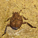 water bug - Abedus? - Abedus