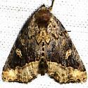 Noctuid Moth - Homophoberia cristata
