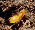 Yellow Ants - Lasius interjectus