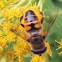 Unidentified fly - Eristalis tenax - male