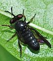 Robber fly - Cerotainia