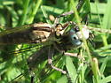What is this species of robber fly?  - Triorla interrupta