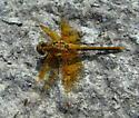 Sympetrum internum - female